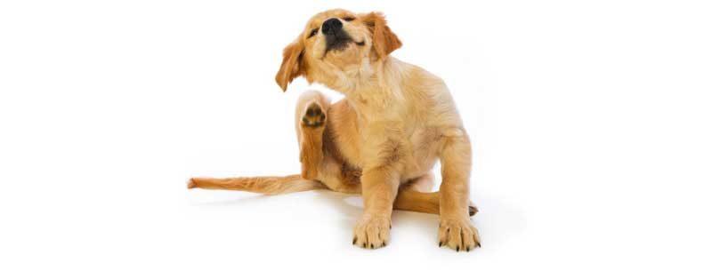 Бълхи по кучето - как да си направим препарат