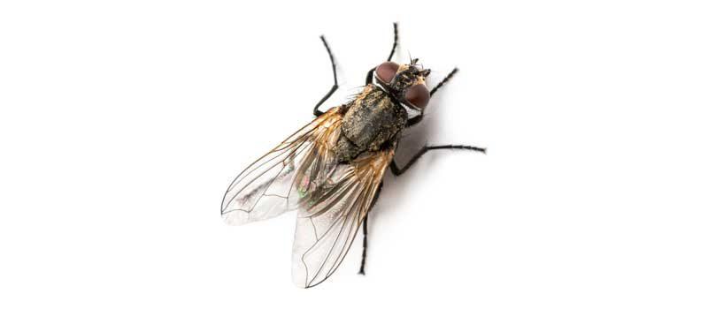 Как да се отървем от мухите вкъщи