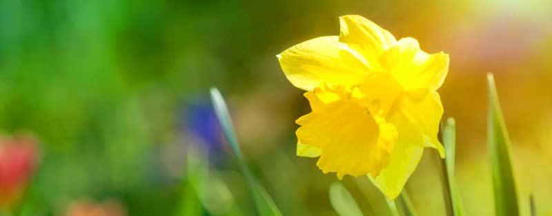 Пролетни цветя - нарциси, лалета