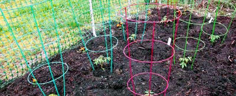 Как да отглеждаме домати вкъщи лесно