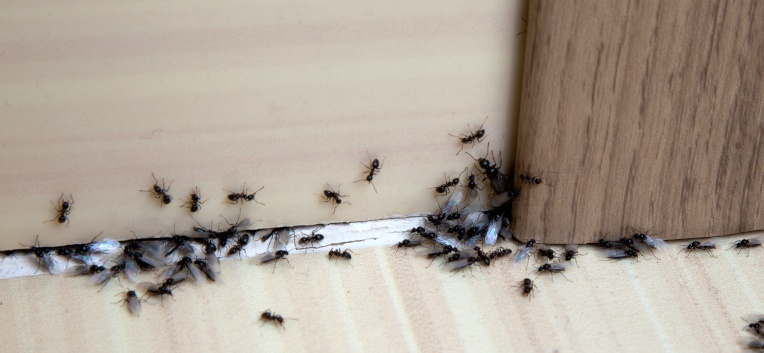 Ефективни методи за справяне с мравките
